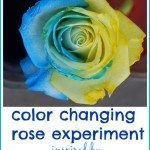 Color Changing Rose Experiment: A Little Blue and Little Yellow Activity